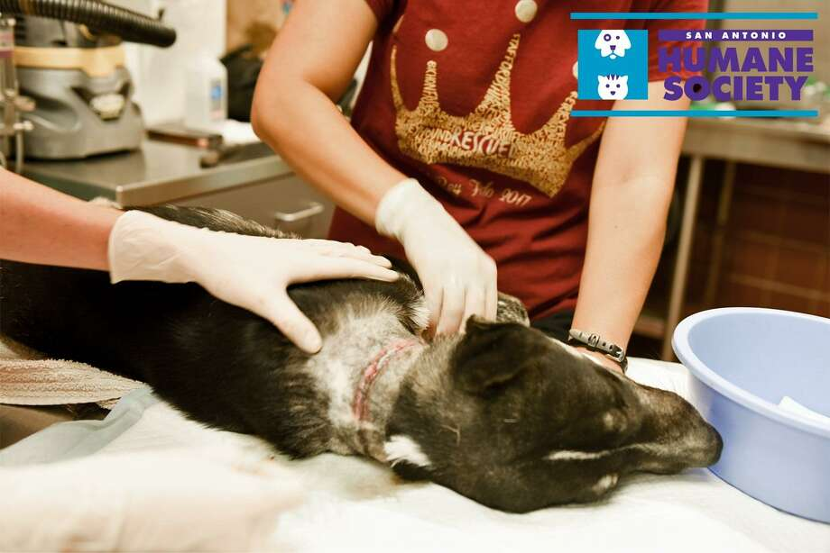 Surgery Supervisor Samantha Delicati cleans the wound of Stanford the Retriever after removing a cable wire embedded in his neck at the San Antonio Humane Society. A Good Samaritan found the pup near Hays Street suffering from flea bites and neglect. Photo: / San Antonio Humane Society
