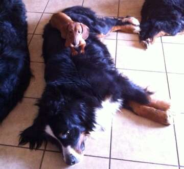 12 Bernese mountain dogs, two dachshunds lost in Wine Country fire