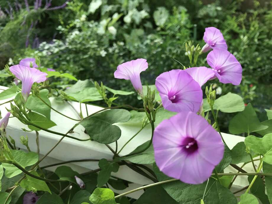 A common native purple morning glory grows along the deck railing in Molly Glentzer's Brenham garden. Photo: Molly Glentzer