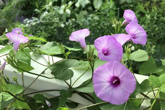 A common native purple morning glory grows along the deck railing in Molly Glentzer's Brenham garden.