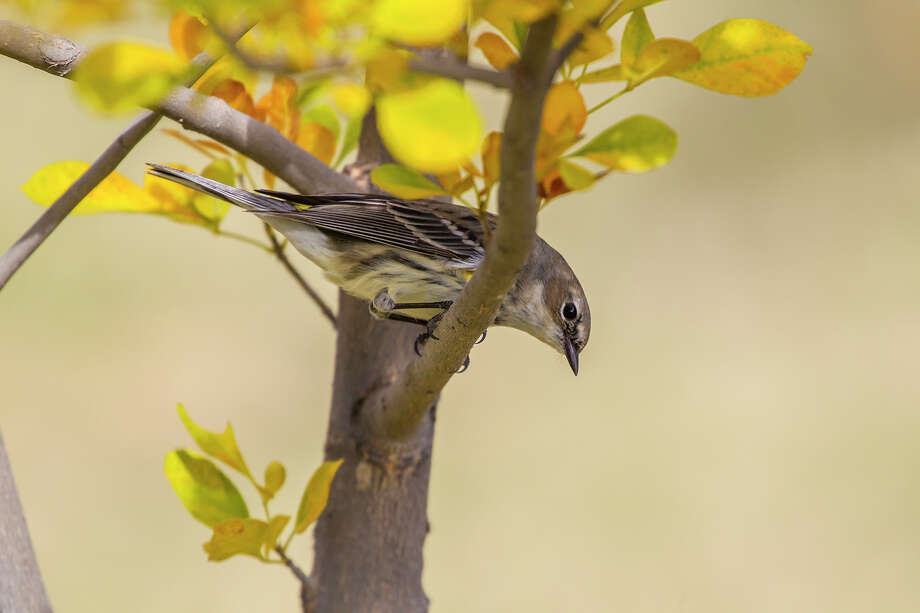 Yellow-rumped warblers join a long list of terminal songbirds visiting Houston for the winter. Photo: Kathy Adams Clark / Kathy Adams Clark/KAC Productions