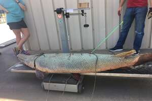 Texas Parks and Wildlife said angler Isaac Avery of Longview caught a 197 pound, 7.39 foot alligator gar bow fishing in the Brazos River on Sept. 9, 2017. The alligator gar is 60 years old, considered among the oldest fish aged and documented by the department.