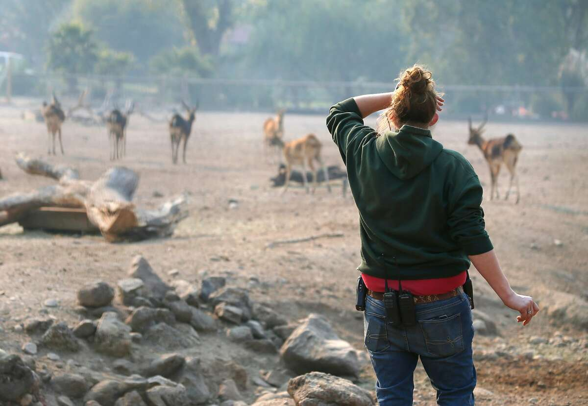 Nikki Smith, the animal collections administrator at Safari West, looks at a herd inside the hoofstock enclosure in Santa Rosa, Calif. on Friday Oct. 13, 2017. Not a single animal was lost and only minimal damage occurred when the Tubbs Fire raced through the wildlife preserve.