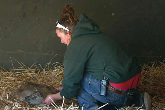 Nikki Smith, the animal collections administrator at Safari West, examines a baby Nile lechwe that was born overnight in Santa Rosa, Calif. on Friday Oct. 13, 2017. Not a single animal was lost and only minimal damage occurred when the Tubbs Fire raced through the wildlife preserve.