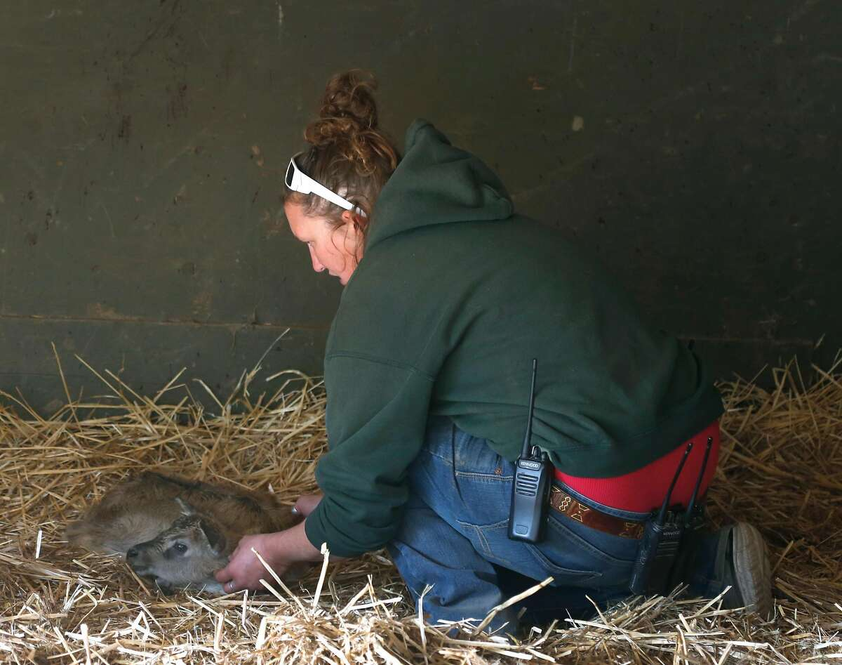 Nikki Smith, the animal collections administrator at Safari West, examines a baby Nile lechwe that was born overnight in Santa Rosa, Calif. on Friday Oct. 13, 2017. The antelope, named Tubbs, died Tuesday, a Safari West spokesperson said.