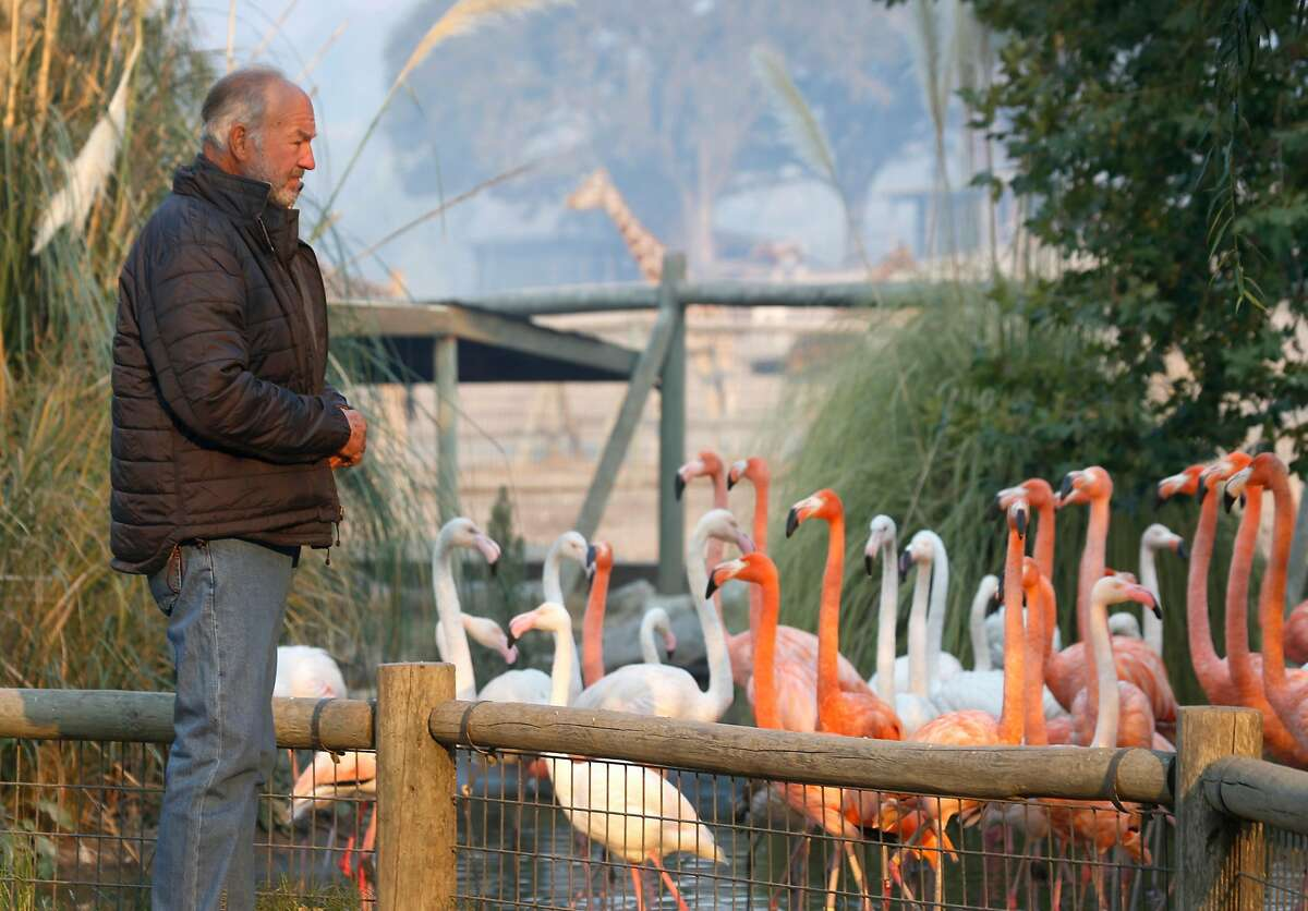 Peter Lang, founder and owner of Safari West, visits the flamingoes in Santa Rosa, Calif. on Friday Oct. 13, 2017. Lang lost his home to the Tubbs Fire but not a single animal was lost and only minimal damage occurred when the firestorm raced through the wildlife preserve.