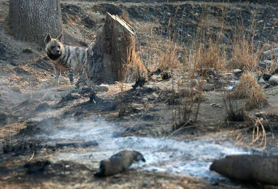 A hyena wanders through her enclosure, which was scarred by the Tubbs Fire, at Safari West in Santa Rosa, Calif. on Friday Oct. 13, 2017. Not a single animal was lost when the fire raced through the wildlife preserve. Photo: Paul Chinn, The Chronicle