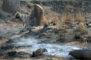 A hyena wanders through her enclosure, which was partially scarred by the Tubbs Fire, at Safari West in Santa Rosa, Calif. on Friday Oct. 13, 2017. Not a single animal was lost and only minimal damage occurred when the firestorm raced through the wildlife preserve.