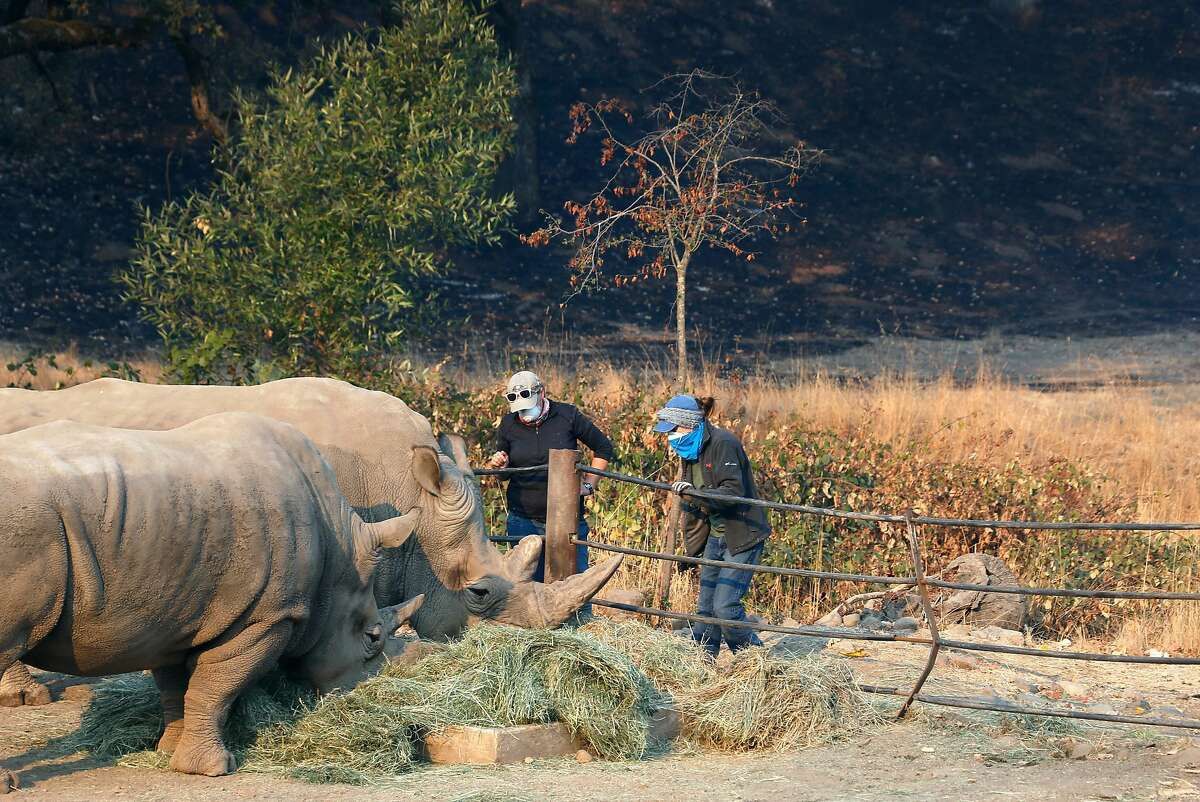 Annabritt Coakley (left) and Victoria Harris feed the rhinos in front of a hillside blackened by fire at Safari West in Santa Rosa, Calif. on Friday Oct. 13, 2017. Not a single animal was lost and only minimal damage occurred when the Tubbs Fire raced through the wildlife preserve.