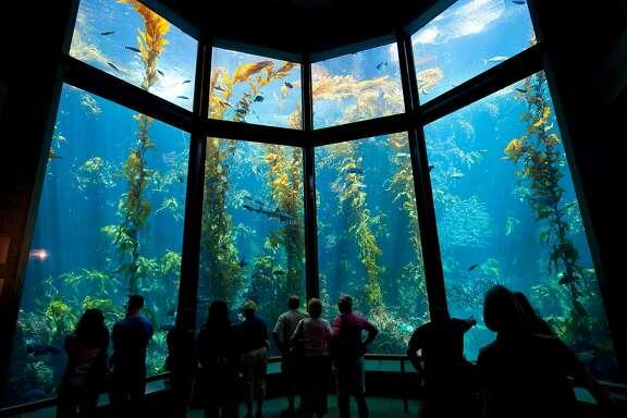 The majestic Kelp Forest exhibit at the Monterey Bay Aquarium. (Visit California/Andreas Hub/TNS)