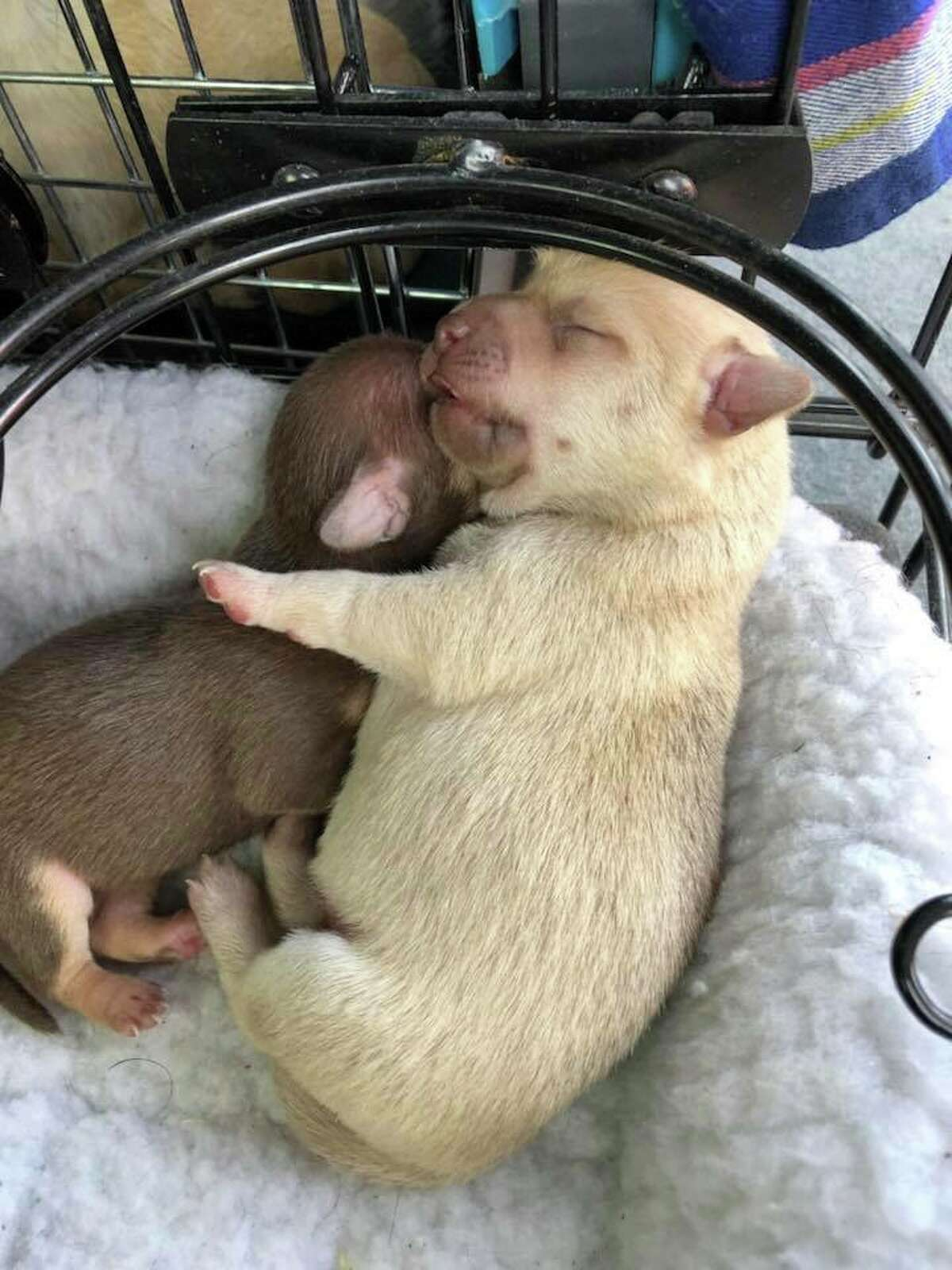Linda Hamik rescued six chihuahua puppies, born the night the Wine Country fires started, in a field near the devastated Coffey Park neighborhood in Santa Rosa. Hamik will foster them until space opens at Monte Rio's Dogma Animal Rescue.