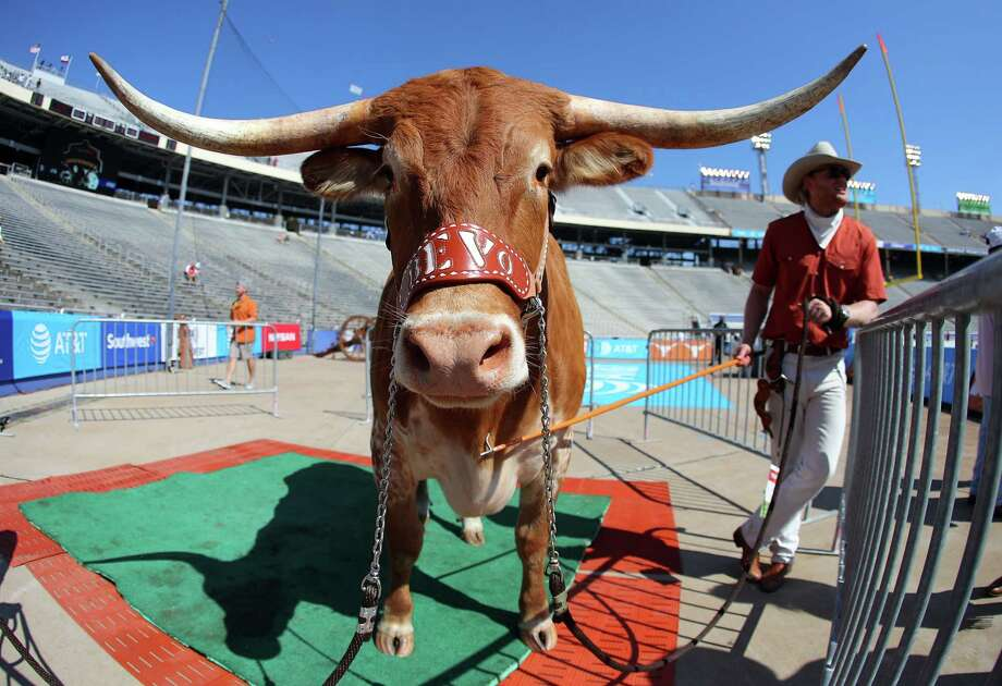 DALLAS, TX - OCTOBER 14:  Bevo, the Texas Longhorns' mascot stands behind the end zone before the game between the Oklahoma Sooners and the Texas Longhorns at Cotton Bowl on October 14, 2017 in Dallas, Texas. Photo: Richard Rodriguez, Getty Images / 2017 Getty Images