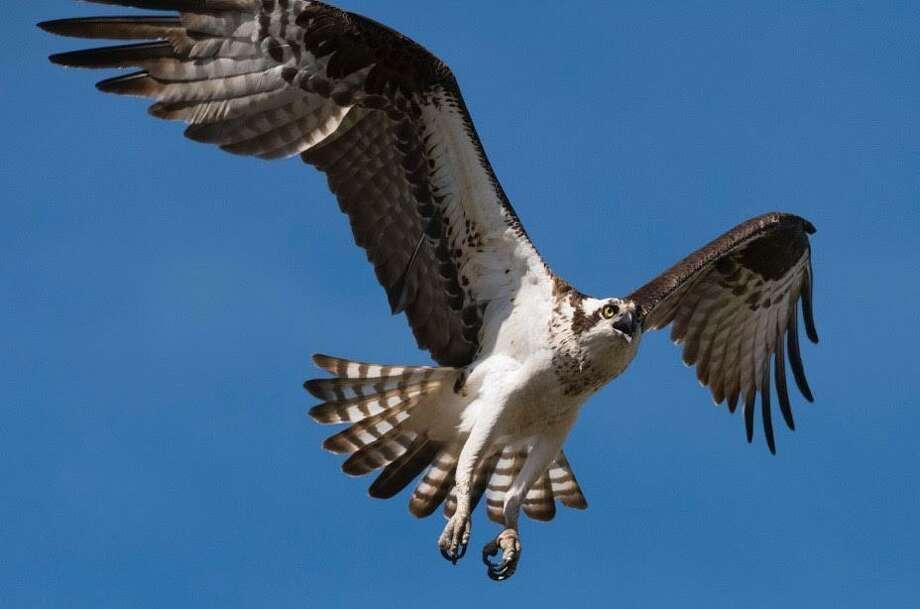 An osprey flies through West River Memorial Park Photo: Courtesy Of Martin Torresquintero / City Of New Haven