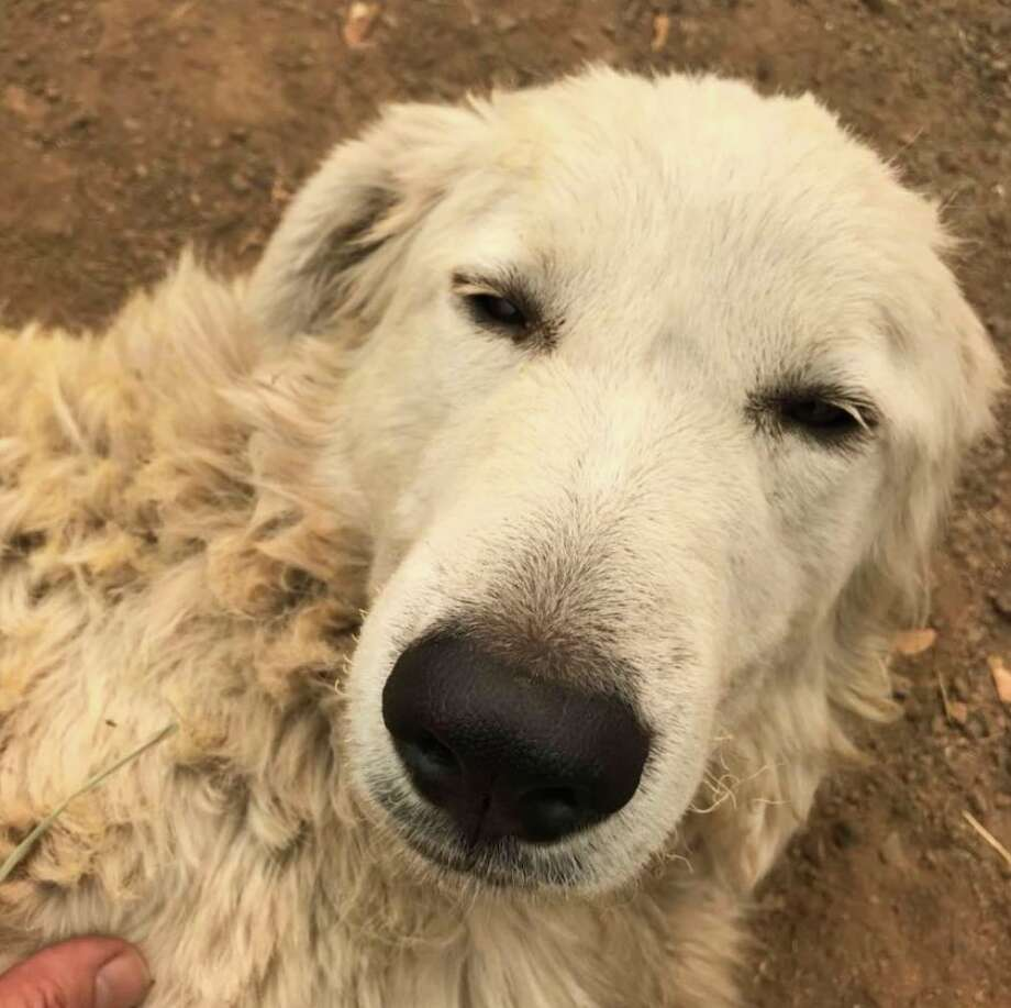 Odin the dog rests in a photo uploaded Saturday, October 14, 2017. As the Tubbs fire burned across Sonoma County, Roland Tembo Hendel's dog Odin preformed a quiet act of heroism. Photo: Courtesy/Roland Tembo Hendel/KTVU