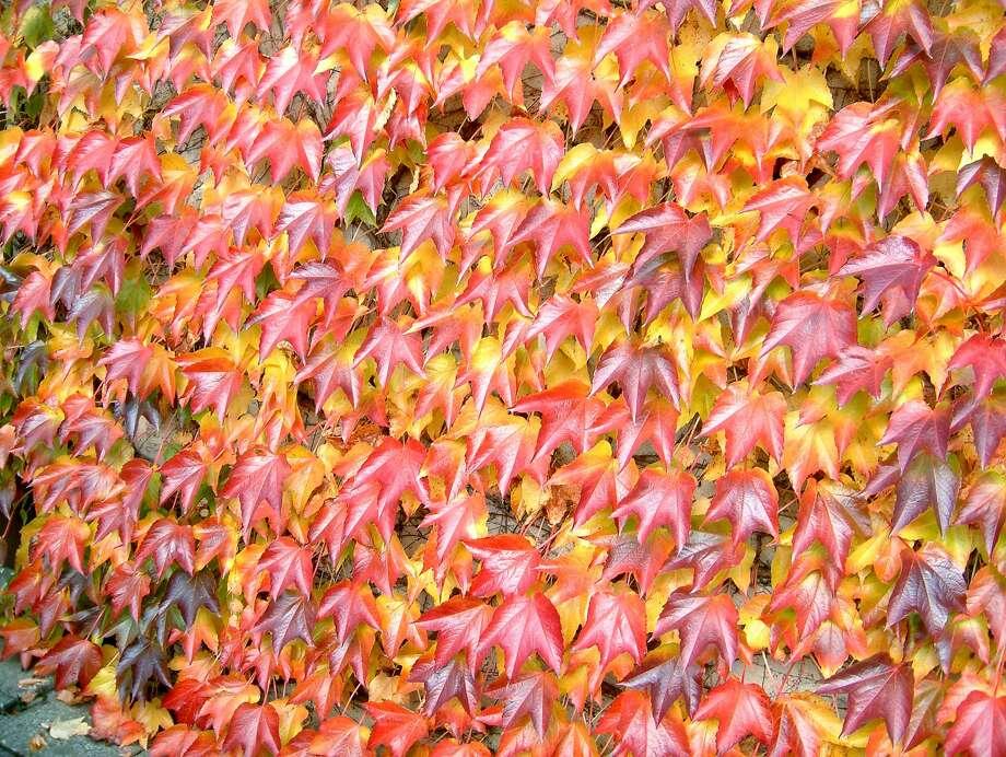 Pathenocissus tricuspidata (Boston ivy). Photo: WikiCommons