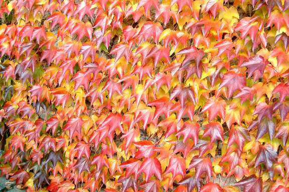 Pathenocissus tricuspidata (Boston Ivy).  Photo: WikiCommons