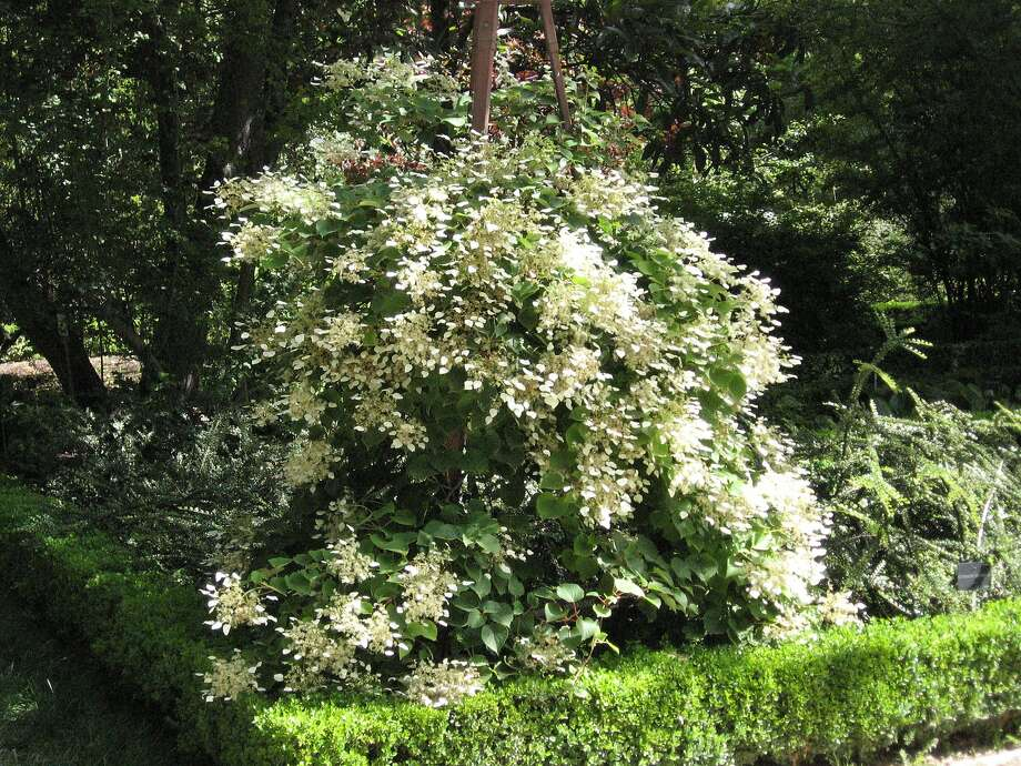 Schizophragma hydrangeoides. Photo: WikiCommons