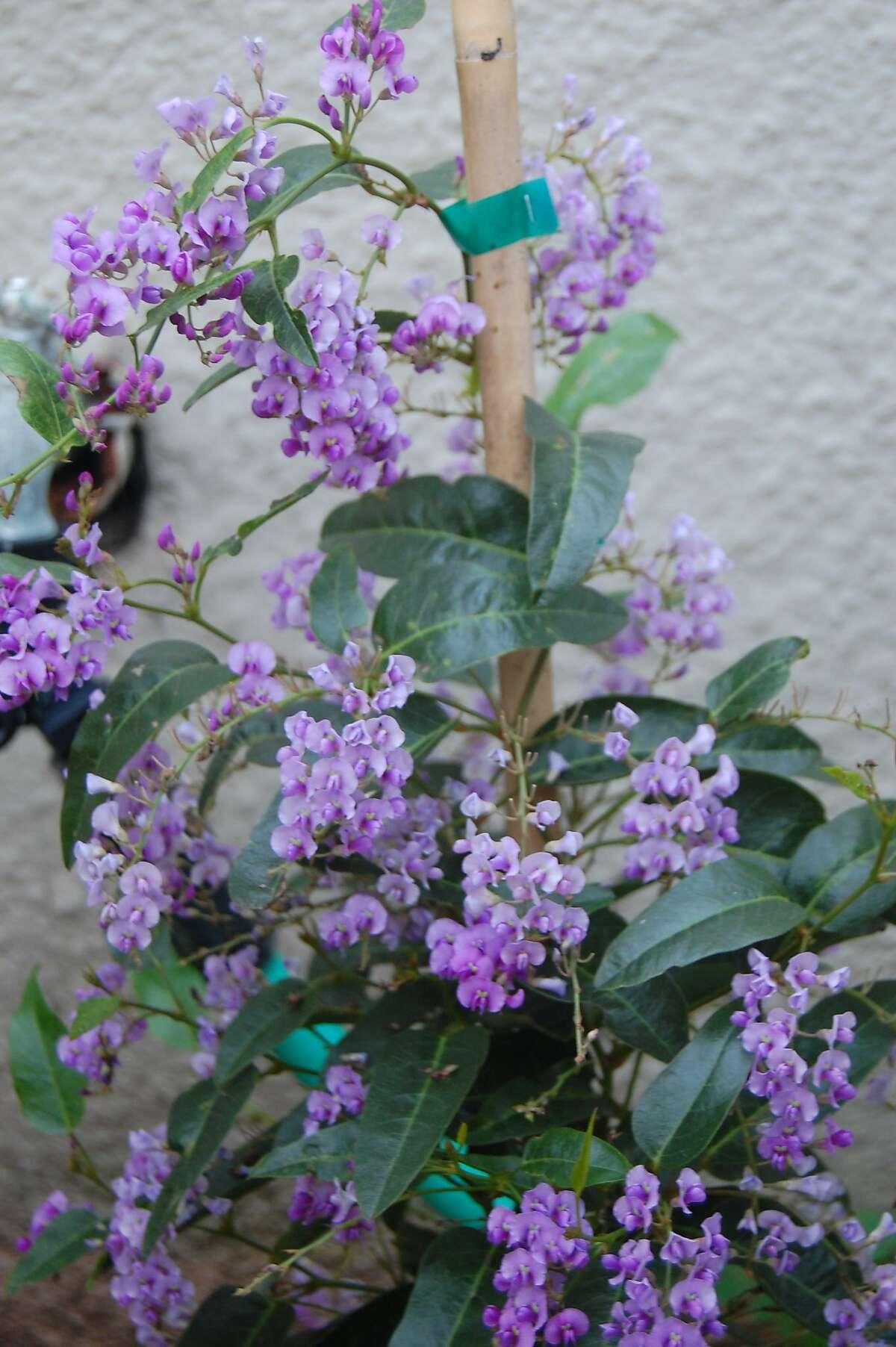 Hardenbergia violacea. Photo: Earl Nickel