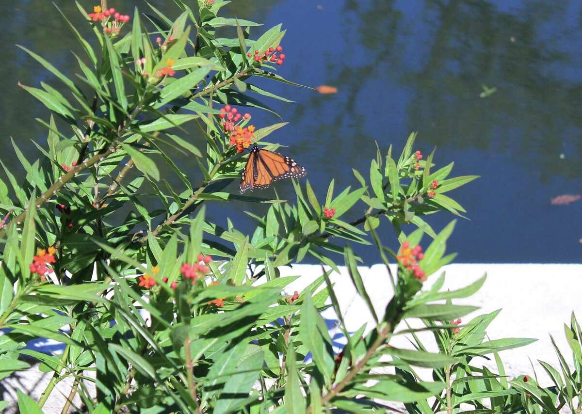 San Antonio Mayor Ron Nirenberg reconfirmed the city's commitment to monarch butterflies on Oct. 16, 2017, by taking the National Wildlife Federation's Mayors' Monarch Pledge. San Antonio lies along the migration pathways that monarchs use to fly to Mexico for the winter.