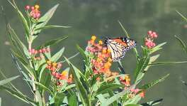 San Antonio Mayor Ron Nirenberg reconfirmed the city's commitment to monarch butterflies on Oct. 16, 2017, by taking the National Wildlife Federation's Mayors' Monarch Pledge.