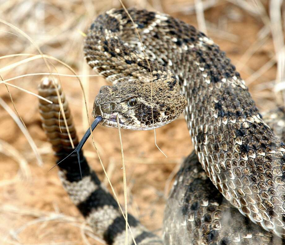 Texas A&M University experts say spring-like temperatures in areas of Texas mean snakes are coming out of winter hibernation, increasing the likelihood of people and pets getting bit. Photo: Shannon Tompkins, Houston Chronicle