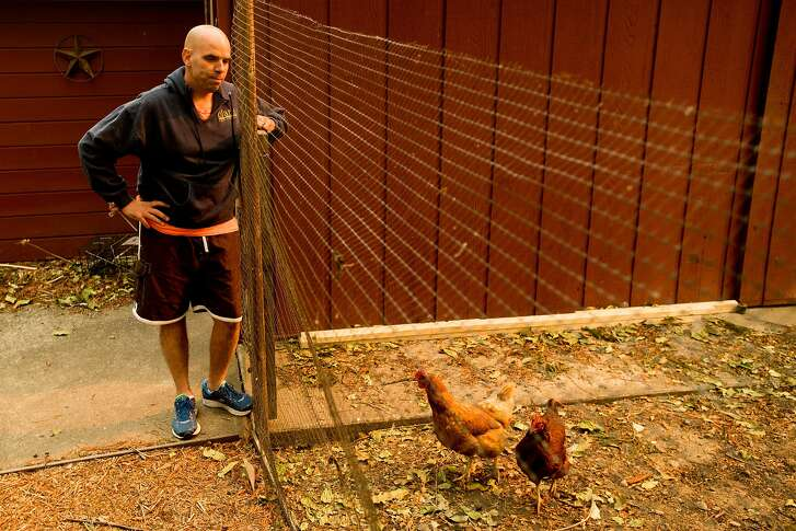 Derrick Torres checks on a neighbor's chickens while living in an evacuated area of Kenwood, Calif., on Monday, Oct. 16, 2017. Torres and his wife have tended to the neighborhood's animals since last Monday.