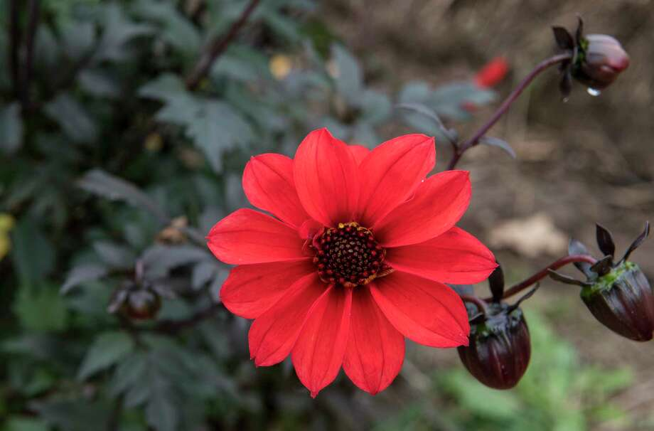 Dahlias still in bloom until the first frost of the season at World's End Farm Monday Oct. 16, 2017 in Esperance, N.Y.  (Skip Dickstein/Times Union) Photo: SKIP DICKSTEIN / 20041836A