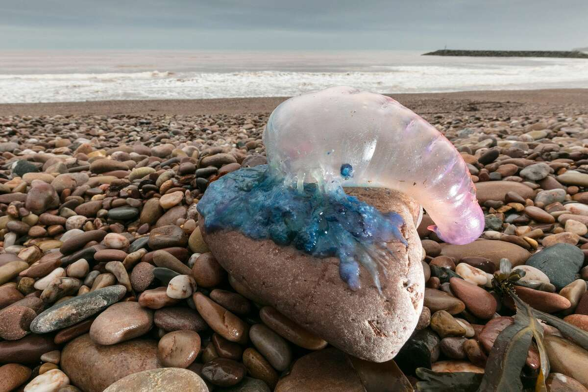 Jellyfish that have been washed up on Sidmouth beach by yesterday's ex-hurricane Ophelia are seen in Sidmouth on October 17, 2017 in Devon, England. People have been warned to take extra care close to the coastline today after reports of deadly Portugese man o'war being washed inland by ex-hurricane Ophelia. The so called 'Floating Terror', which is in fact not a jellyfish but a floating colony, has long tentacles that can cause a painful sting and be fatal in extremely rare cases.