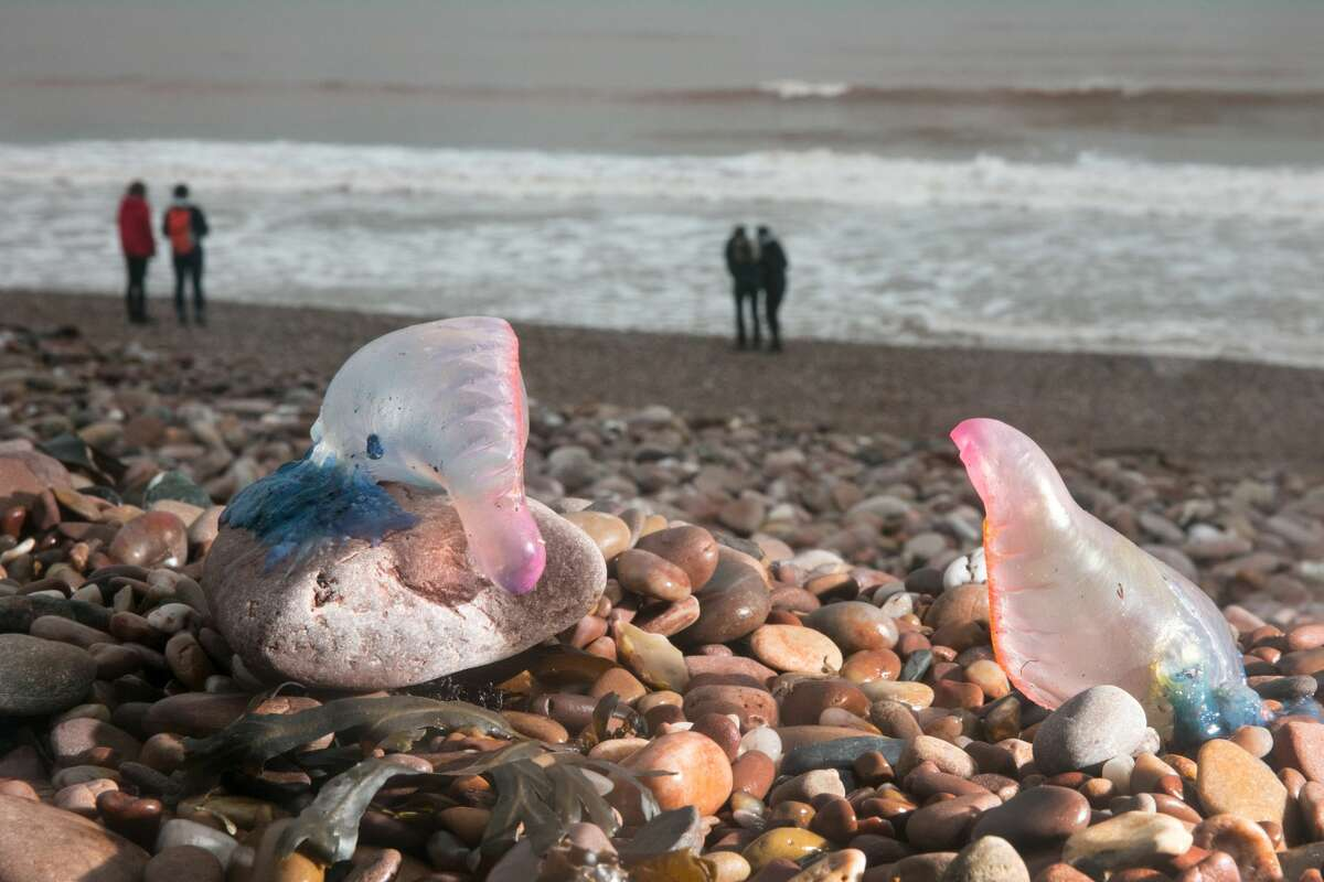 Some of the jellyfish that have washed up on the English shores following Hurricane Ophelia were deadly. Swipe through to see photos of more colorful jellyfish.