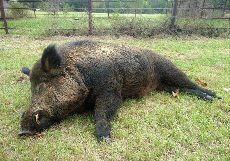 This week a man named Joe Clowers in Union Grove, Texas killed a 416-pound wild hog that had been wreaking havoc on his property.  Photo: Gregg County Game Warden