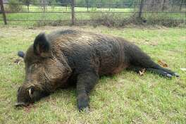 This week a man named Joe Clowers in Union Grove, Texas killed a 416-pound wild hog that had been wreaking havoc on his property.