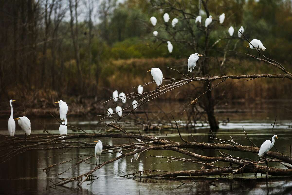 A group of great egrets populate a pond near Poseyville Road and St. Charles Street on Thursday, Oct. 12, 2017. Great Egrets live in freshwater, brackish, and marine wetlands. These birds are unlikely to stay in Michigan much longer, as they will soon migrate south for the winter. (Katy Kildee/kkildee@mdn.net)