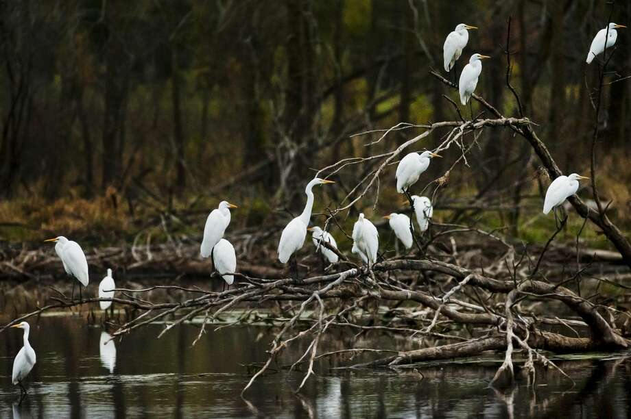 A group of great egrets populate a pond near Poseyville Road and St.  Charles Street on Thursday, Oct. 12, 2017. Great Egrets live in  freshwater, brackish, and marine wetlands. These birds are unlikely to  stay in Michigan much longer, as they will soon migrate south for the  winter. (Katy Kildee/kkildee@mdn.net) Photo: (Katy Kildee/kkildee@mdn.net)