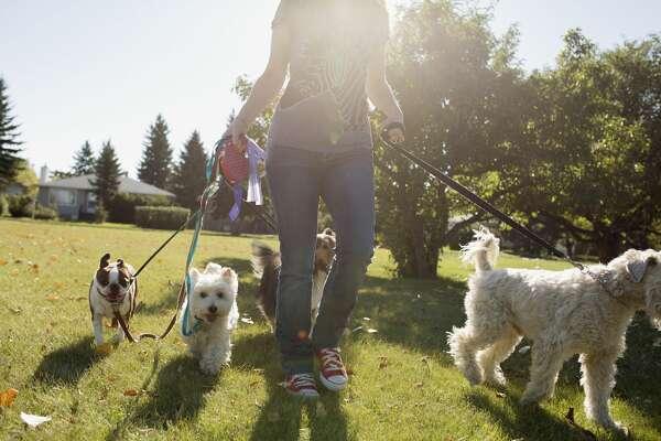 Stock image of a dog-walker.