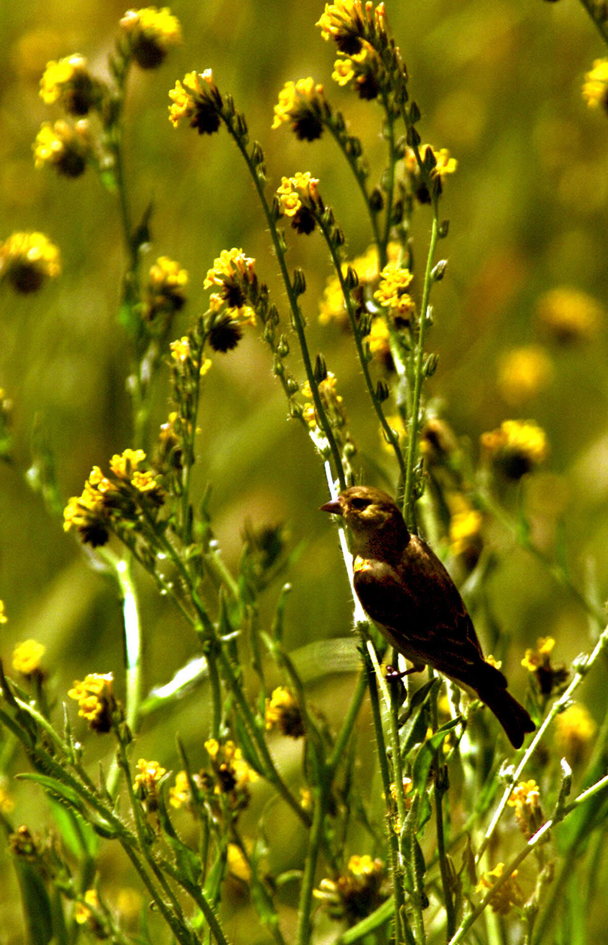 A lesser goldfinch perched on the branch of a Common Fiddleneck (the yellow flower pictured) at Ronald W. Caspers Regional Park.