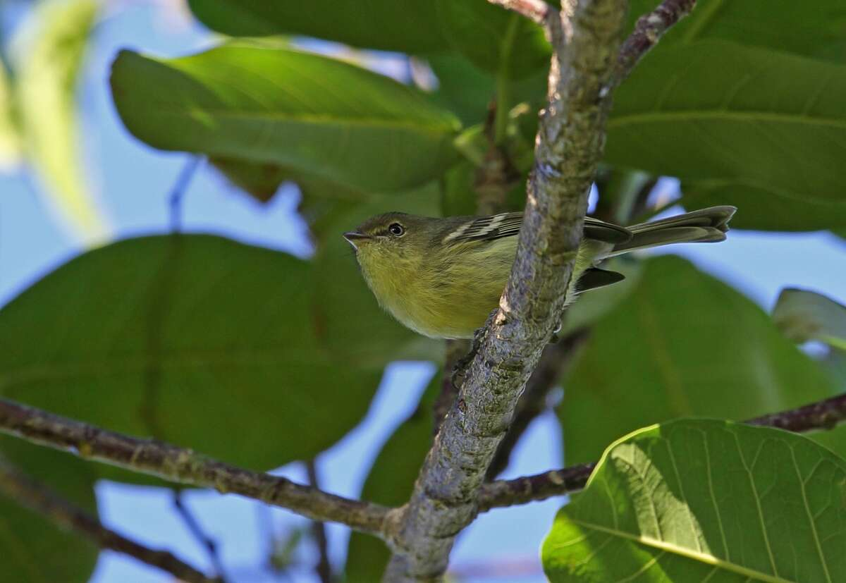 File photo of a flat-billed vireo.