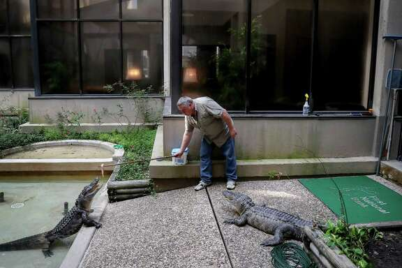 "Troy Stuart, a maintenance worker at First National Bank, feeds ""Lizzy,"" left, and ""Lucy,"" right, two alligators that live in the atrium of the bank, Friday, Aug. 18, 2017, in Alvin. Stuart likened the alligators to puppies. ""I get the same excitement a little kid gets on Christmas,"" he said. ( Jon Shapley  / Houston Chronicle )"