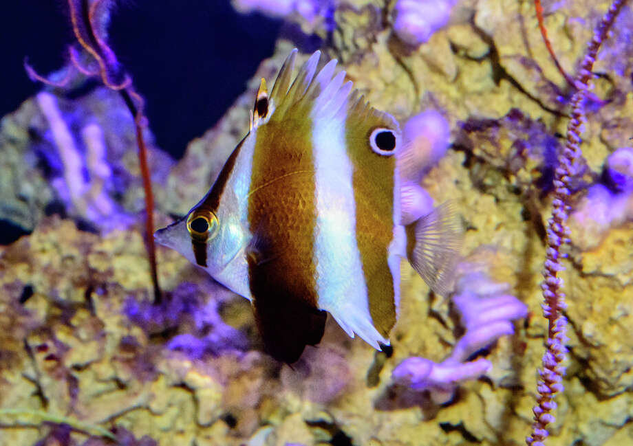 "Roa rumsfeldi, a new species of butterflyfish, in the California Academy of Science's ""Twilight Zone"" exhibit. Photo: Luiz Rocha/Cal Academy"