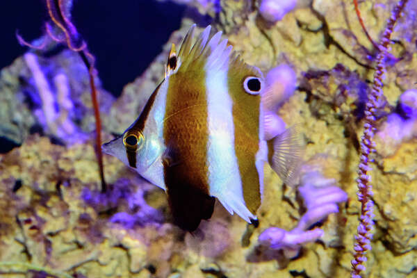 "Roa rumsfeldi,  a new species of butterfly fish, in the California Academy of Science's ""Twilight Zone"" exhibit."