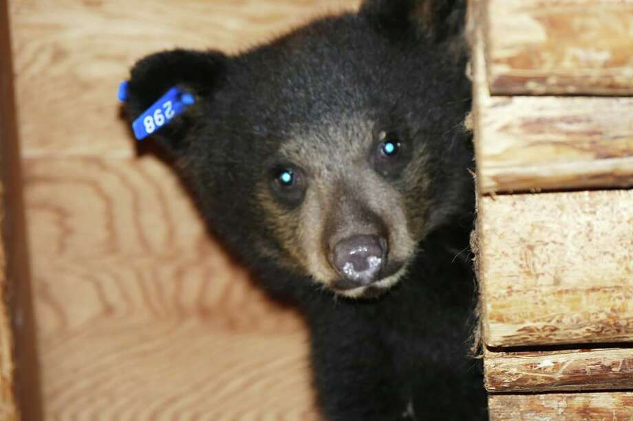 Nevada, a black bear cub at Lake Tahoe Wildlife Care, died in August from adenovirus. Photo: Lake Tahoe Wildlife Care