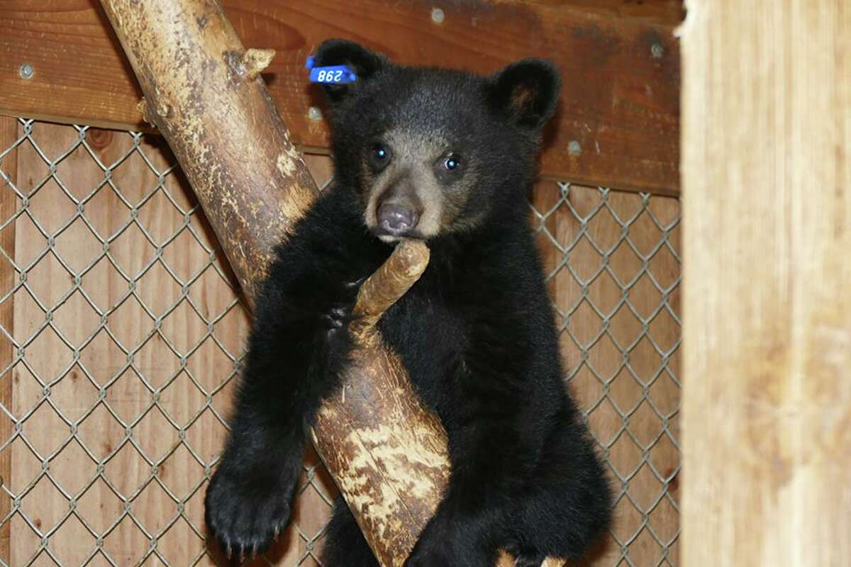 Nevada, a black bear cub at Lake Tahoe Wildlife Care, died in August from adenovirus.