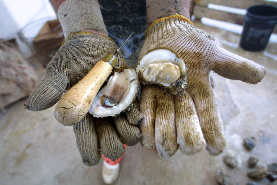 An oyster fresh out of Galveston Bay.  Photo: Rick Hunter, EXPRESS-NEWS FILE PHOTO / SAN ANTONIO EXPRESS-NEWS