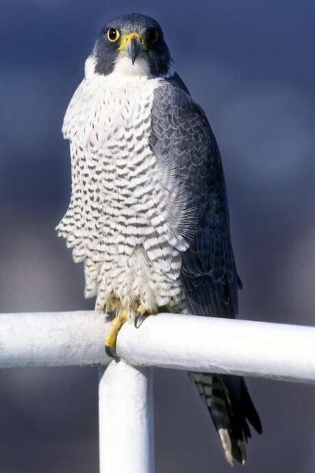 -An adult Peregrine Falcon sits on the railing of a balcony on the top floor of the People's Bank headquarters building in downtown Bridgeport in March of 1999.