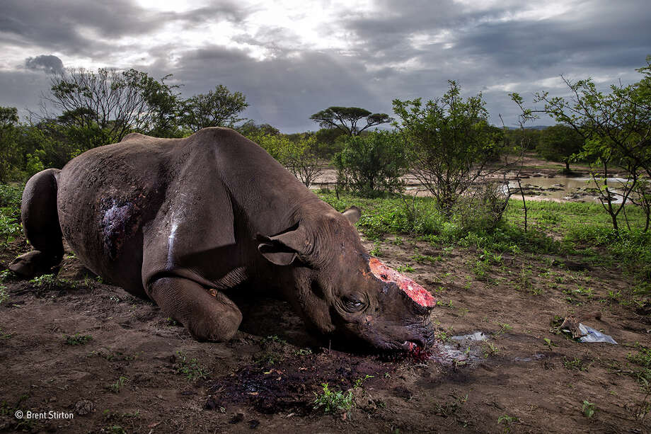 A black rhino bull is seen dead on May 17, 2016, poached for its horns less than 24 hours earlier at Hluhluwe Umfolozi Game Reserve, South Africa. It is suspected that the killers came from a local community approximately 5 kilometers away, entering the park illegally, shooting the rhino at a water hole with a high-powered, silenced hunting rifle. An autopsy and postmortem carried out by members of the KZN Ezemvelo later revealed that the large calibre bullet went straight through this rhino, causing massive tissue damage. It was noted that he did not die immediately but ran a short distance, fell to his knees and a coup de grace shot was administered to the head from close range. Black rhino are the most endangered, with less than 3,000 left in the wild. (Photo by Brent Stirton/Getty Images Reportage for National Geographic Magazine.) Photo: Brent Stirton