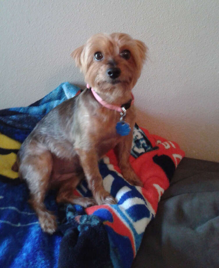 """A Texas woman suffered """"broken-heart syndrome"""" following the death of her Yorkshire terrier, Meha. See America's most popular dog breeds in the following gallery. Photo: Courtesy Of Joanie Simpson. / The Washington Post"""