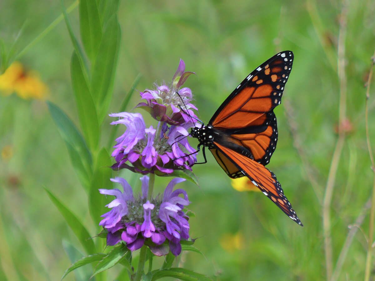 Monarch butterfly Found in: North America, Oceania Source:World Wildlife (nonprofit research group)