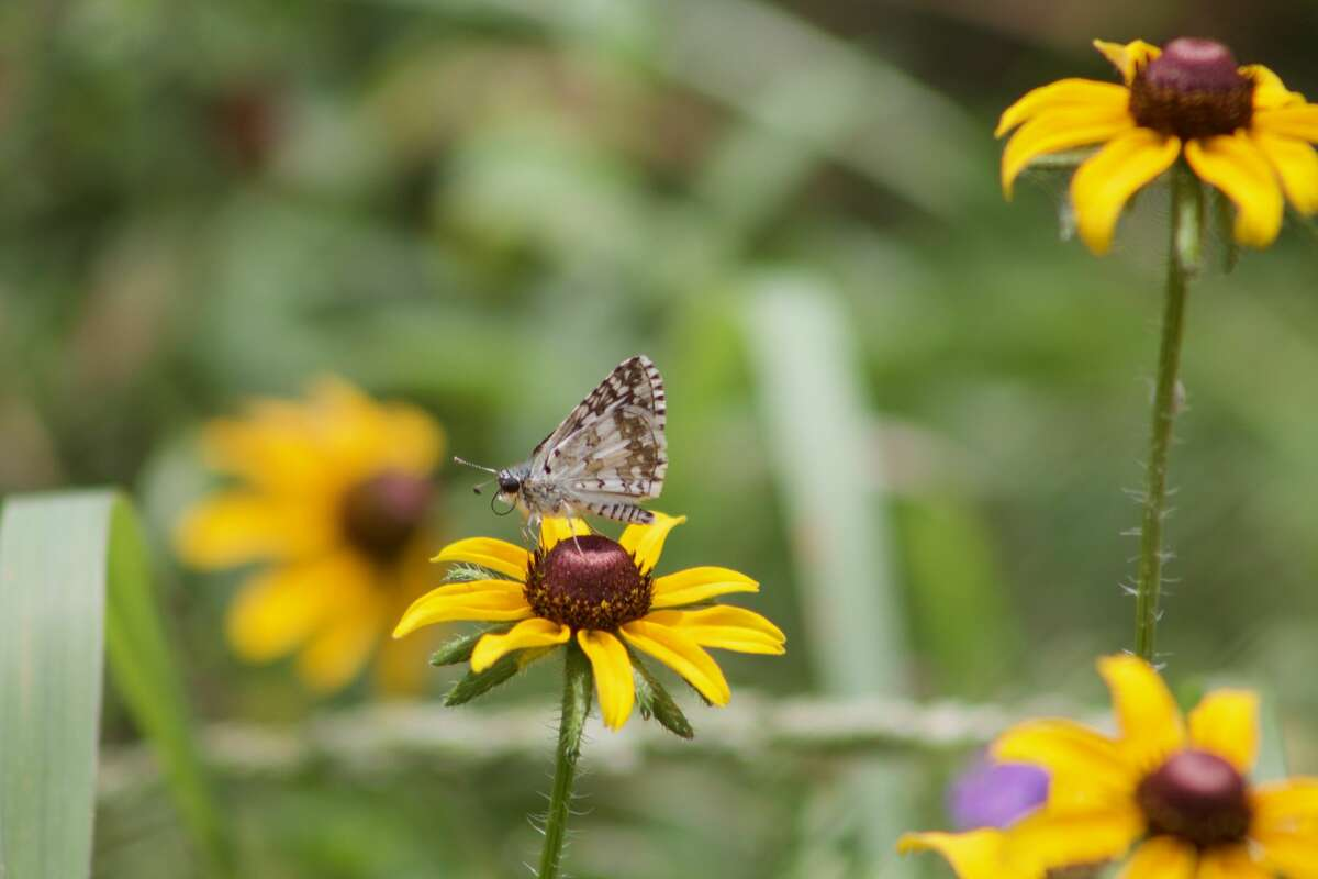 Wildflowers attracted urban pollinators to pocket prairies.