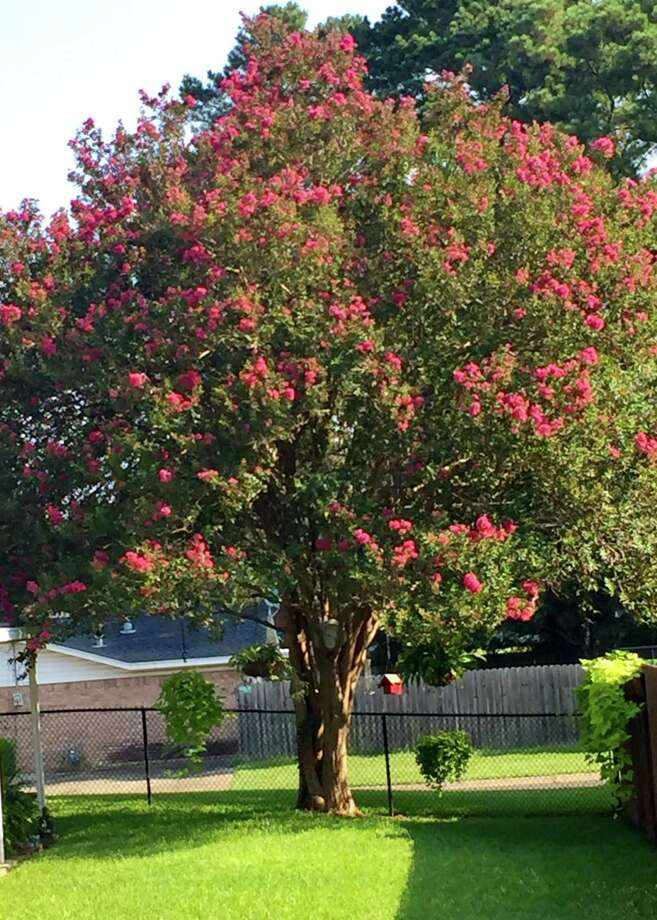 This healthy, vigorous crape myrtle has not been topped in more than 30 years. Stop topping crape myrtles, folks. Photo: Courtesy Photo