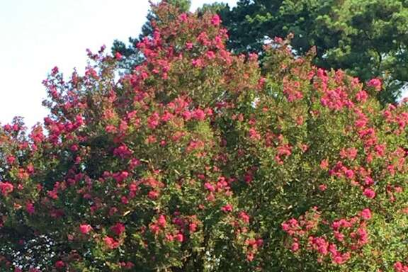 This healthy, vigorous crape myrtle has not been topped in more than 30 years. Stop topping crape myrtles, folks.