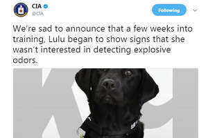 The CIA tweeted about one of its potential K9 recruits Lulu and how she wasn't able to pass her training to detect bombs. Lulu was adopted by her trainer and won't work for the CIA.  Image source:  CIA